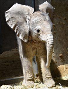 Elefantenbaby am 26.06.16 im halleschen Bergzoo geboren (c) Zoo Halle