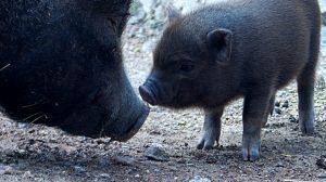 Nachwuchs bei den Minischweinen
