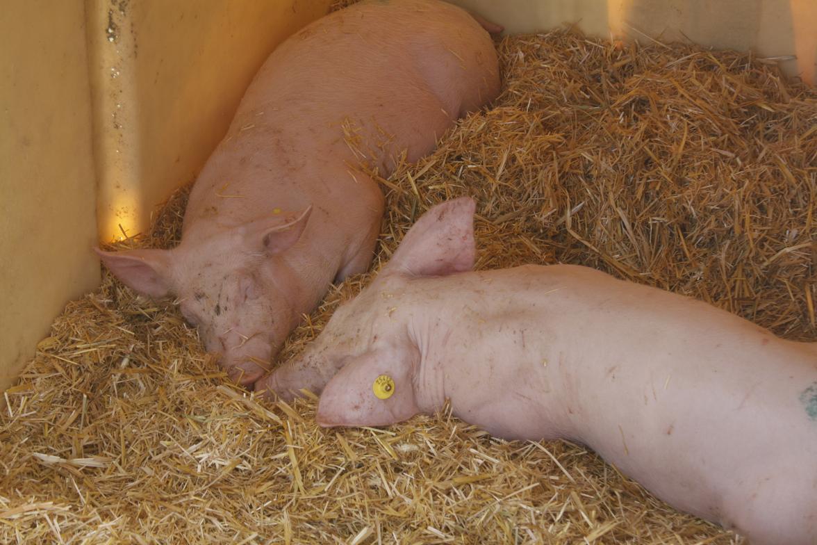 Tierschüter kritisieren Probe-Operationen an betäubten Schweinen im ...
