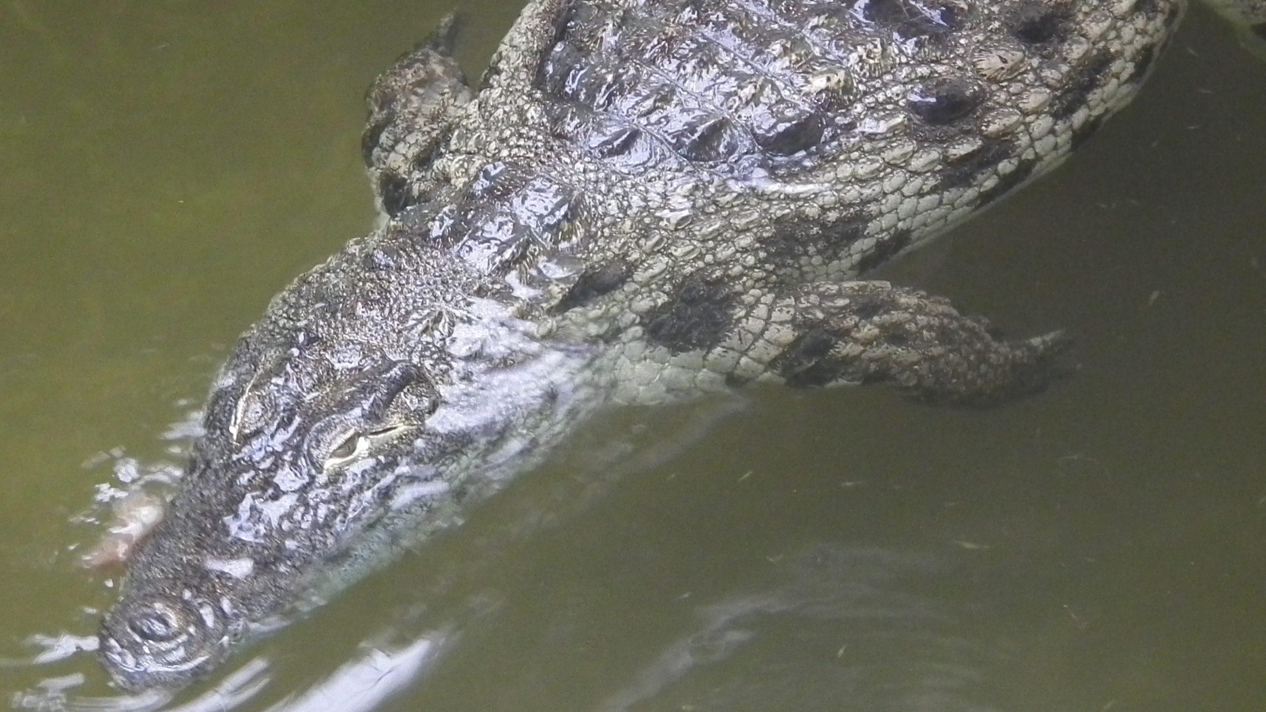 Krokodil Unstrut